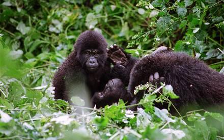 gorillas-in-uganda.jpg