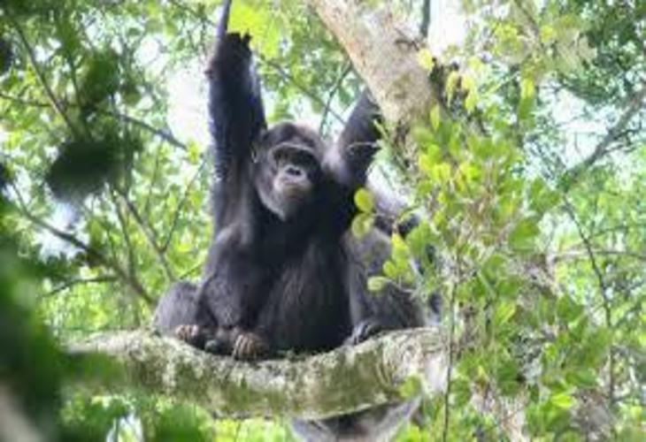 Nyungwe-forest-national-park-chimpanzee.jpg