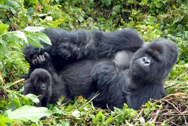 budget-gorilla-trekking-safaris.jpg