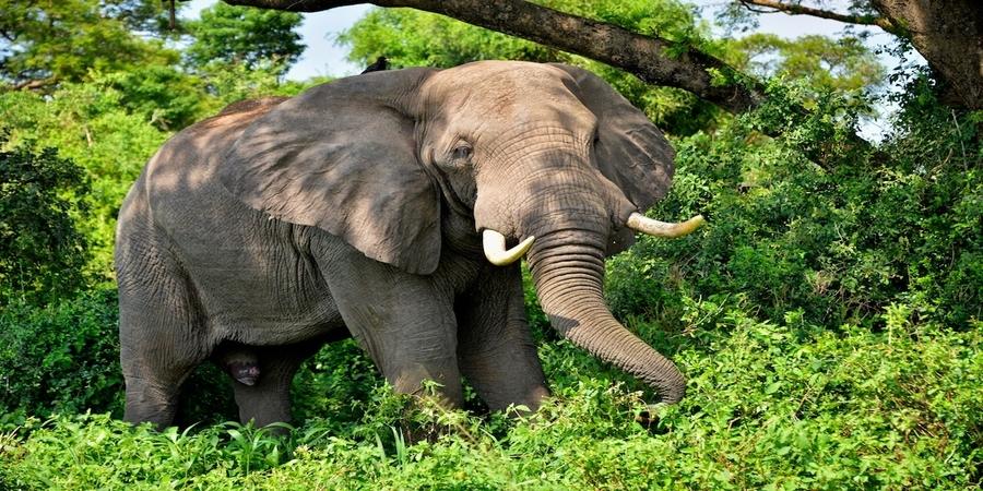 Uganda-African-Elephant.jpg