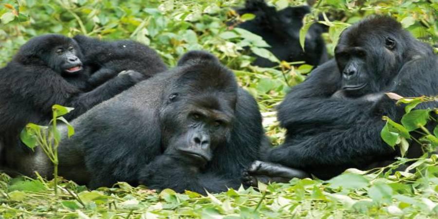 Bwindi-Mountain-Gorilla.jpg