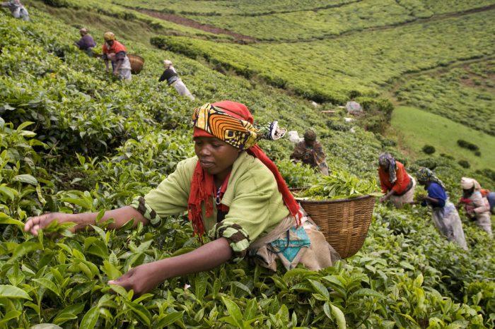 tea-plantation-nyungwe-forest.jpg
