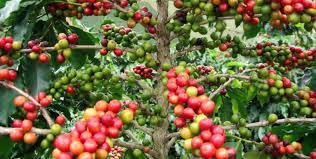 coffee-plantation-tour-lake-kivu.jpg