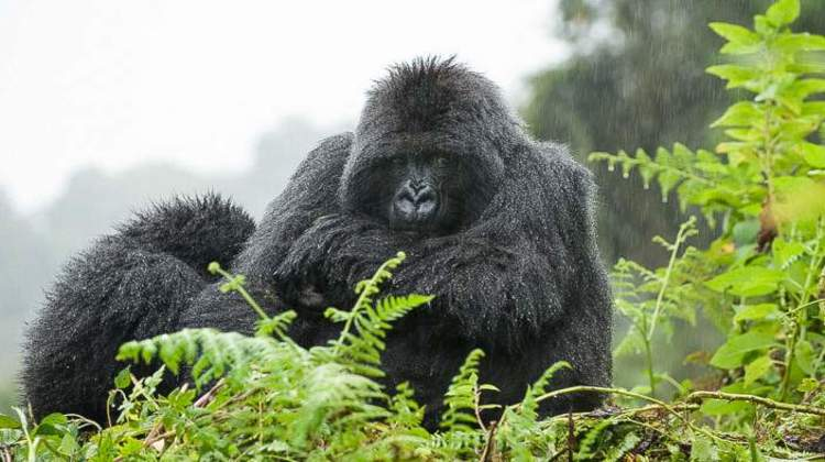 Volcanoes-national-park-gorillas.jpg