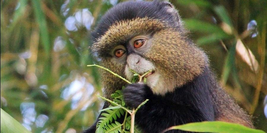 Golden-monkeys-in-Rwanda-and-Uganda.jpg
