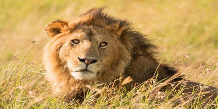 Uganda-big -five-lion.jpg