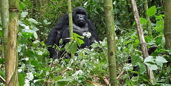 gorilla-safari-in-rwanda.jpg