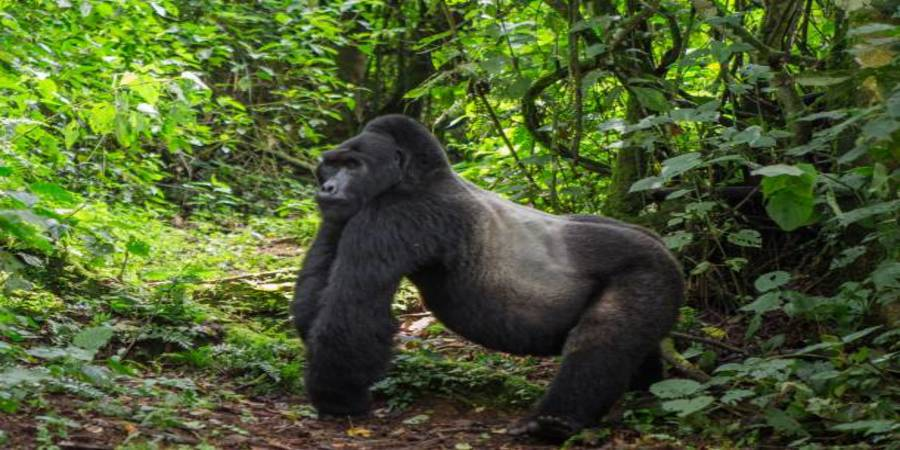 Uganda-Mountain -Gorilla.jpg