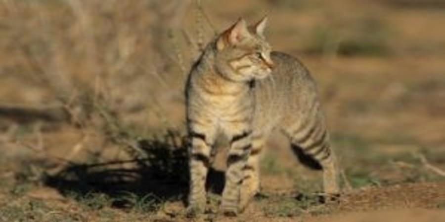 African-wild-cat.jpg