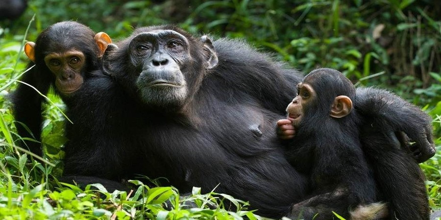 Kalinzu-Forest-Resrves-chimpanzees.jpg