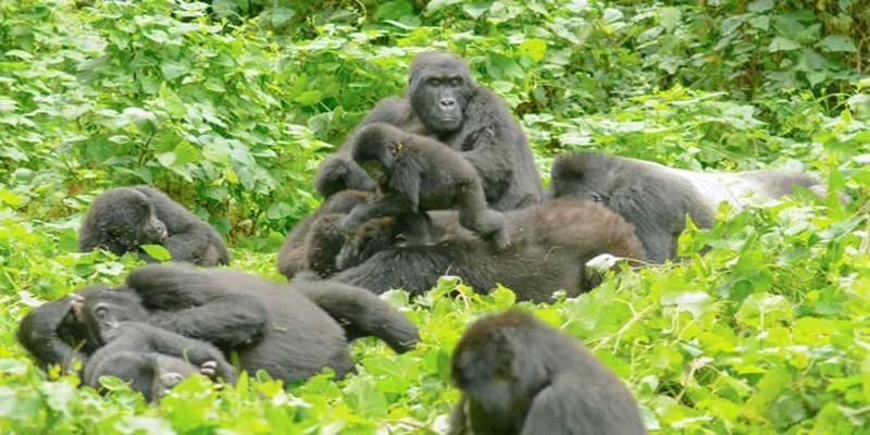 African-Mountain-Gorillas.jpg