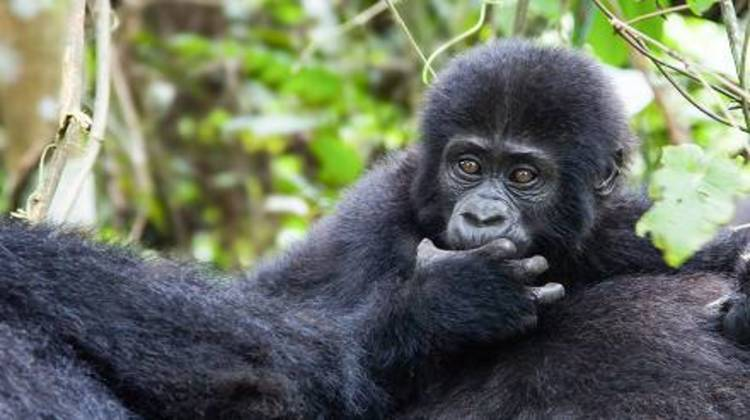 Bwindi -Forest -Impenetrable-National-Park-Gorilla.jpg