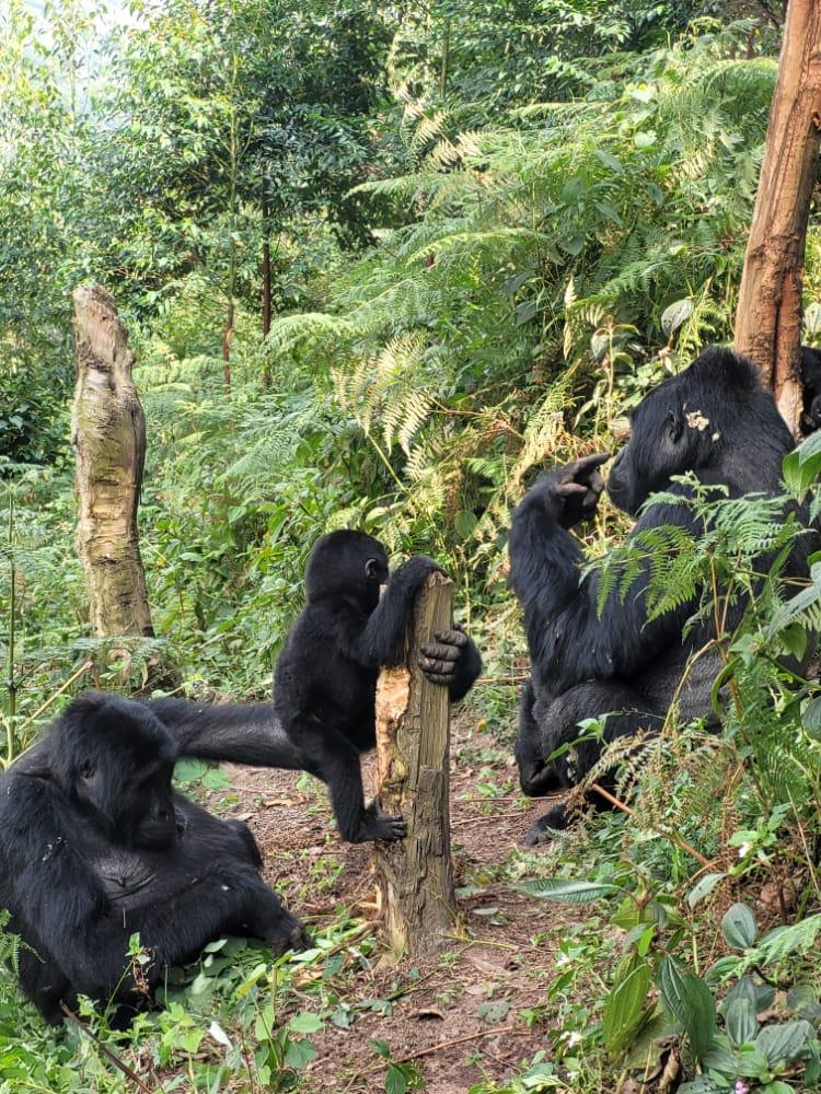 Volcanoes-national-park-gorillas.jpg
