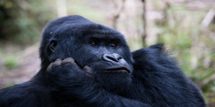 African-mountain-gorilla.jpg