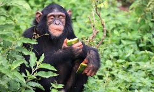 primates_of_uganda_tour.jpg