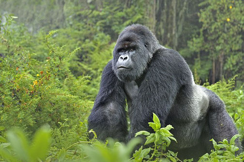 King of the jungle: mountain Silverback gorilla in Bwindi Impenetrable National Park