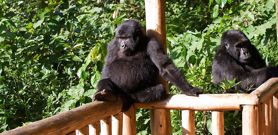 luxury_gorilla_trekking_in_rwanda.jpg