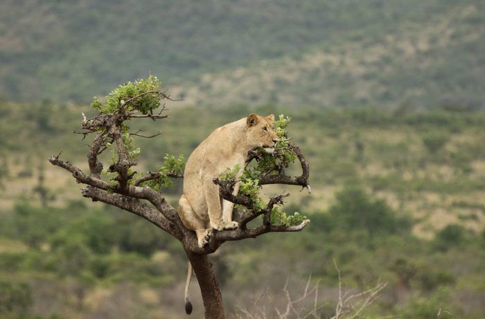 akagera-national-park-lion-in-a-tree.jpg
