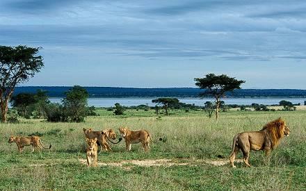 lions-Murchison-falls.jpg