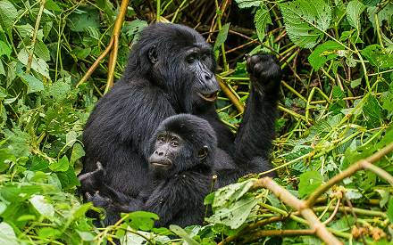 17-days-gorilla-trekking-uganda-jpg