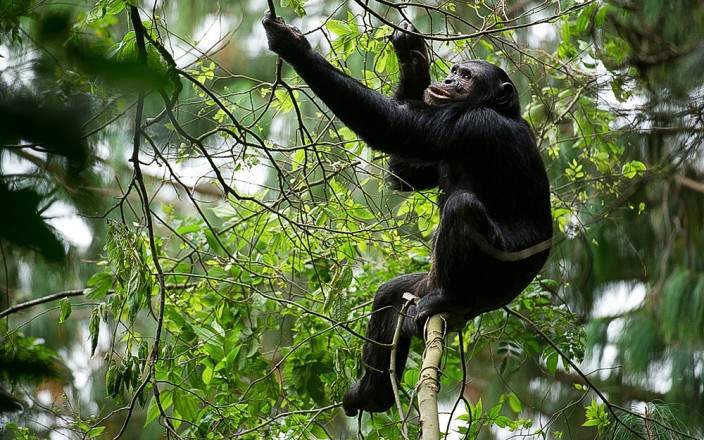 chimpanzee-nyungwe-forest.jpg