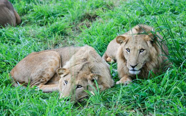 Kidepo-valley-national-park-lions.jpg