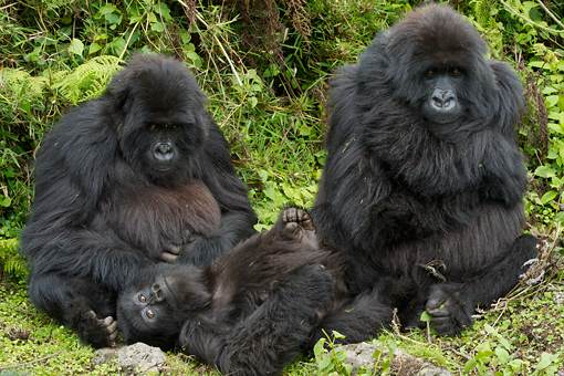 Gorilla family in Bwindi National Park