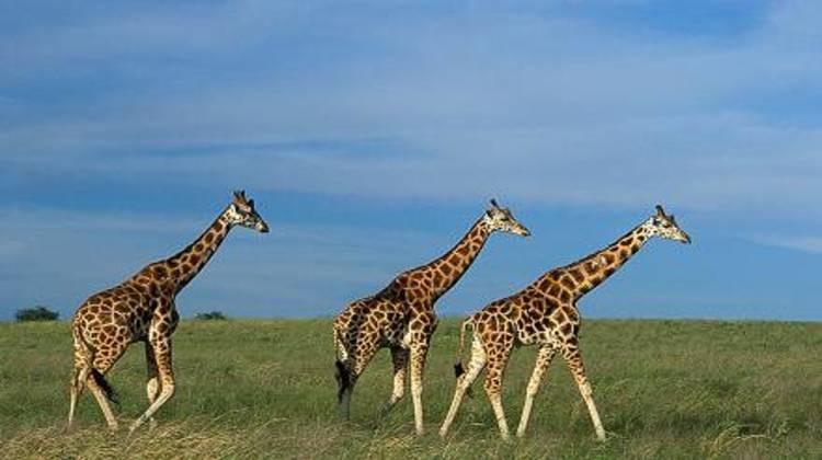 Murchison -falls-national-park-giraffes.jpg