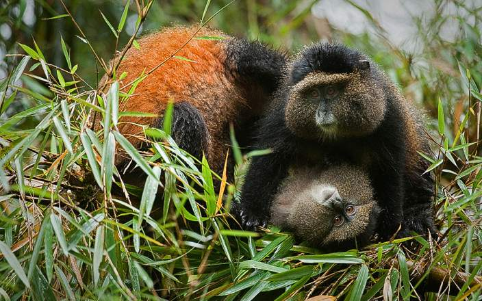 Volcanoes-national-park-golden-monkey.jpg