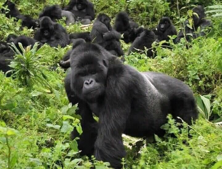 mountain-gorilla-family-in-rwanda.jpg
