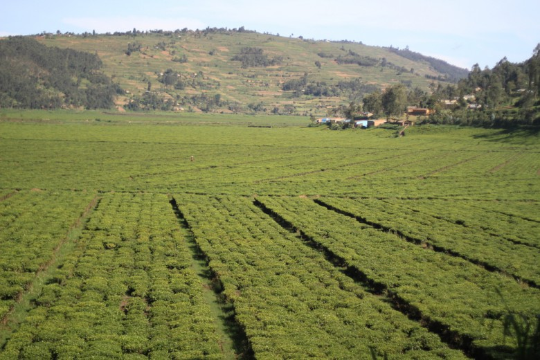 Rwanda is one of the countries that produce tea in Africa