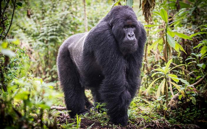 Volcanoes-national-park-mountain-gorilla.jpg