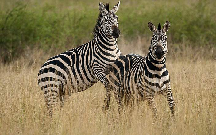 zebras-akagera-national-park.jpg