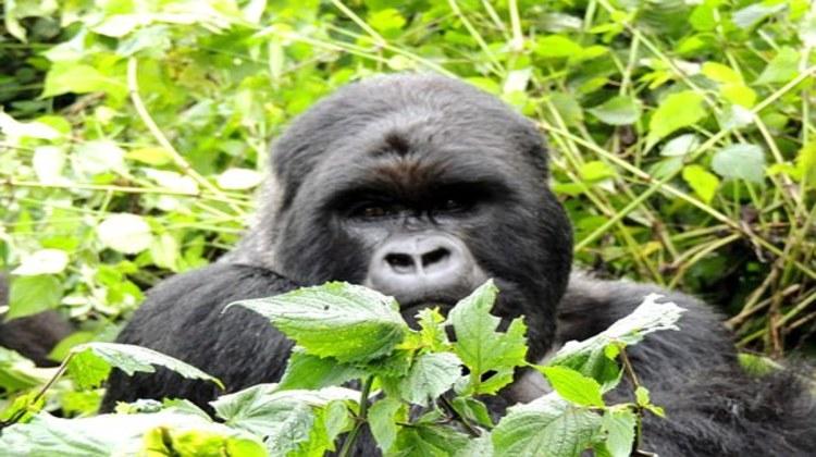 Mgahinga-National-Park-Gorilla.jpg