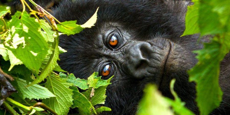 Best-time-to-do-mountain-gorillas-in-Uganda.jpg