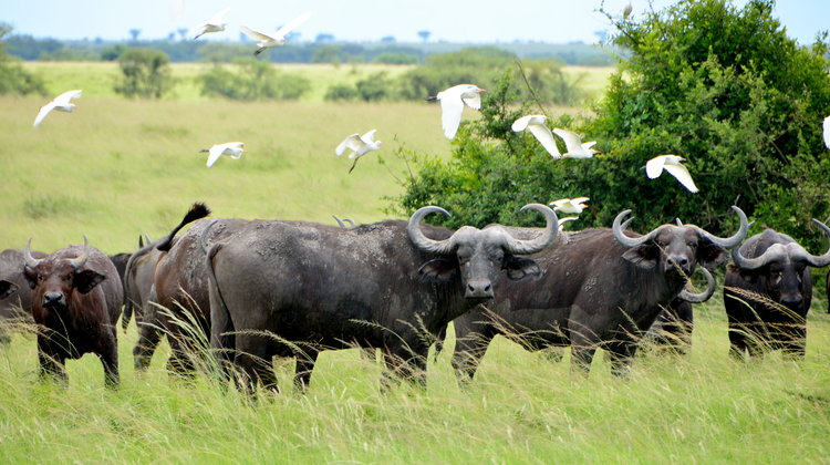 Queen-Elizabeth-national-park-buffalos.jpg