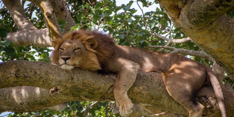 Tree-climbing-lions-of -ishasha.jpg