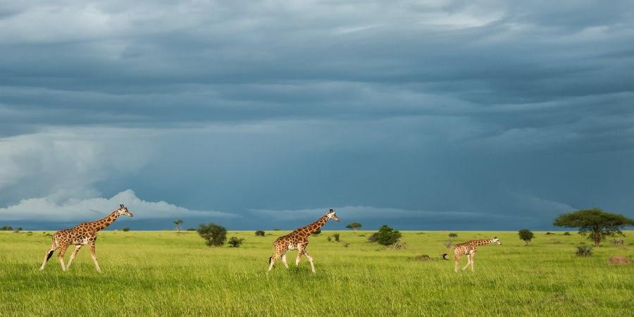 Uganda-safari-guide-giraffe.jpg
