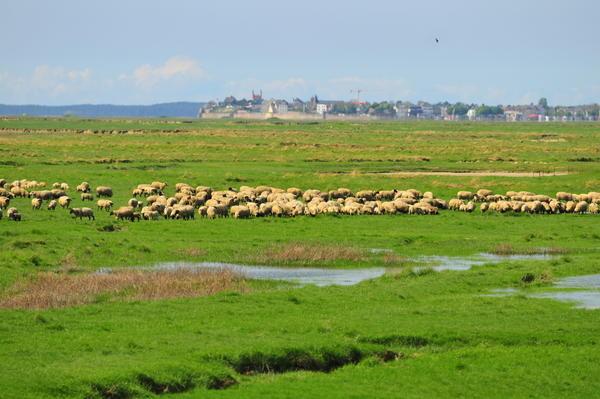 les moutons des prés salés dans la Baie de Somme