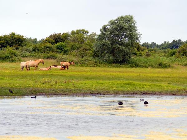 Les Henson, chevaux typiques du Marquenterre