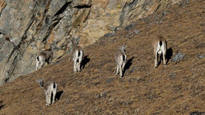 Wilde Blauschafe in Bhutan