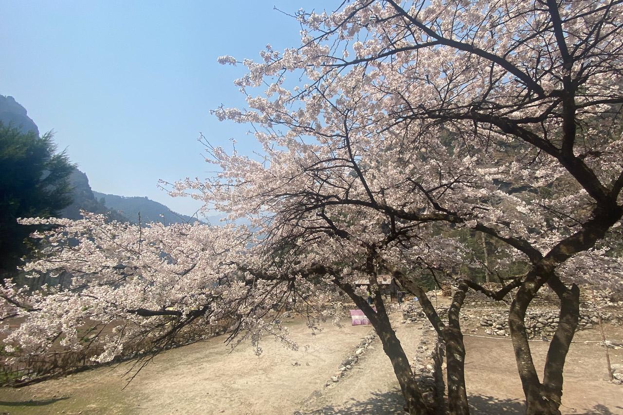 Blühende Pfirschbäume am Weg.