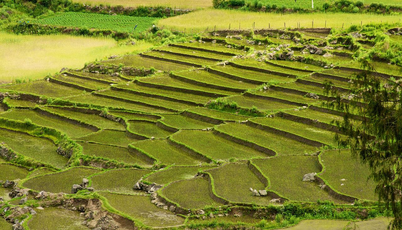 Im Westen Bhutans wird roter Reis angebaut