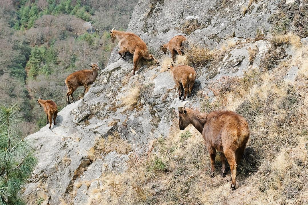 Die Thar leben in Höhenlagen zwischen 2500 und 4500 Metern