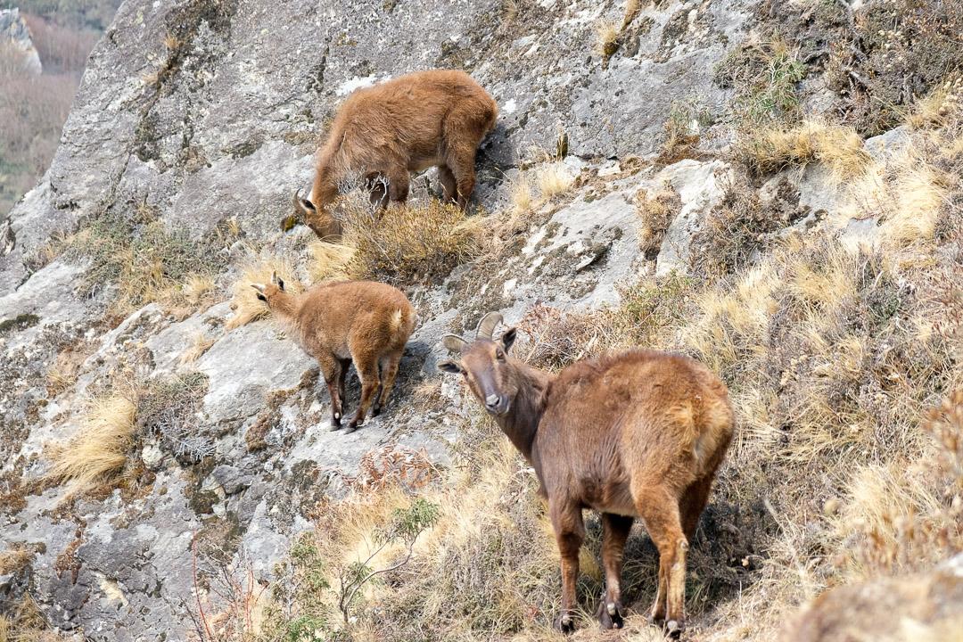 Himalayan Thar - eine Wildziegenart, welche im Himalaya zwischen Kaschmir und Westbhutan vorkommt