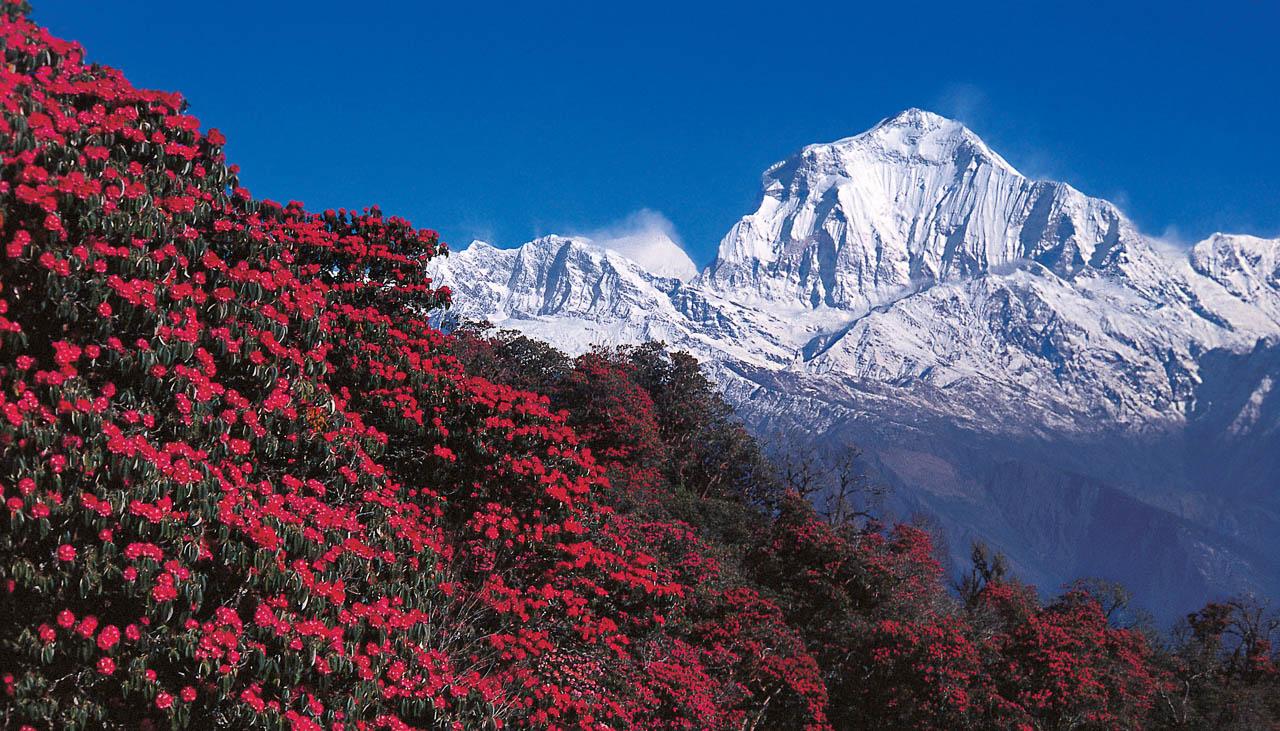 Blühende Rhododendren vor dem Massiv der Annapurna