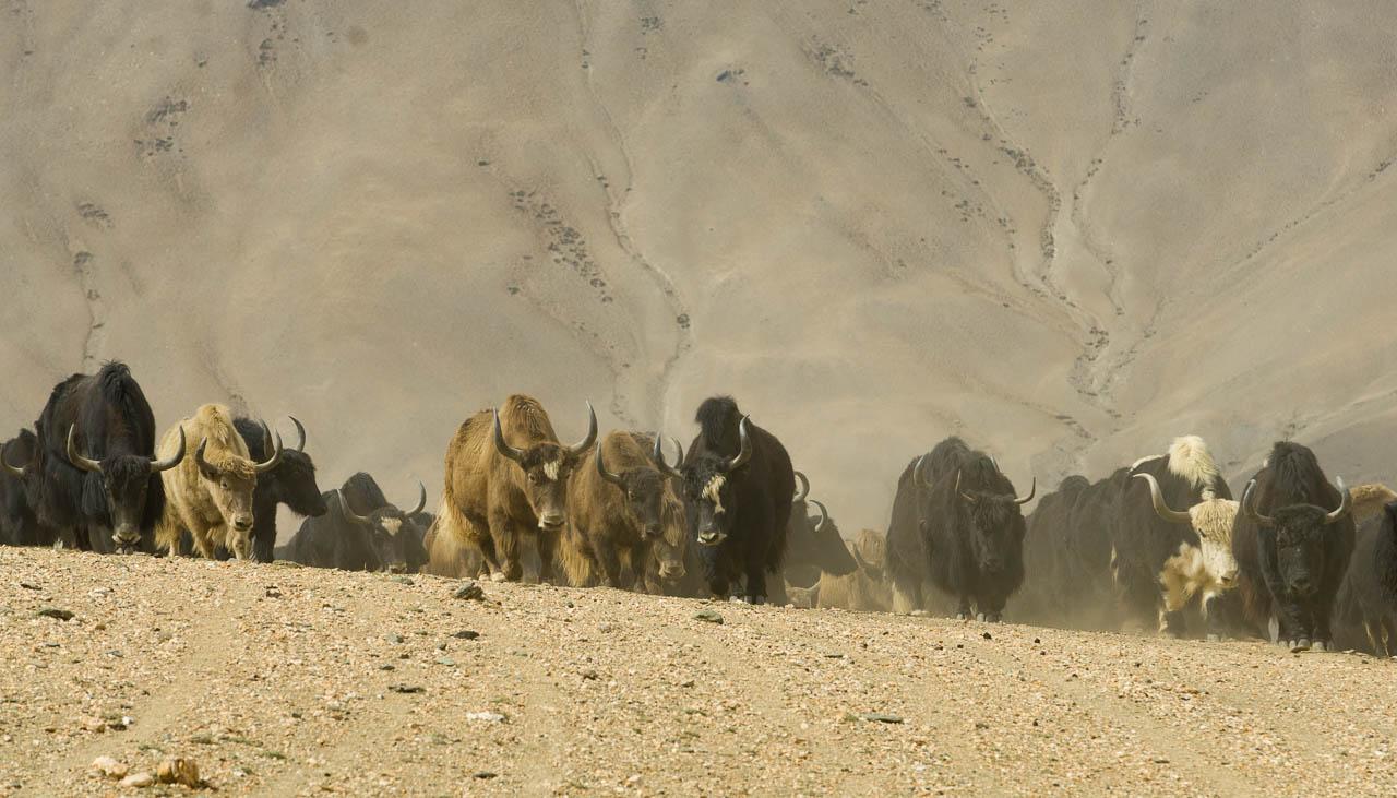 Eine grosse Herde Yaks