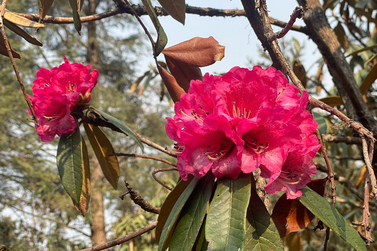 Auf der Höhe von 2500 - 3500 Metern blühen zur Zeit die Rhododendren.