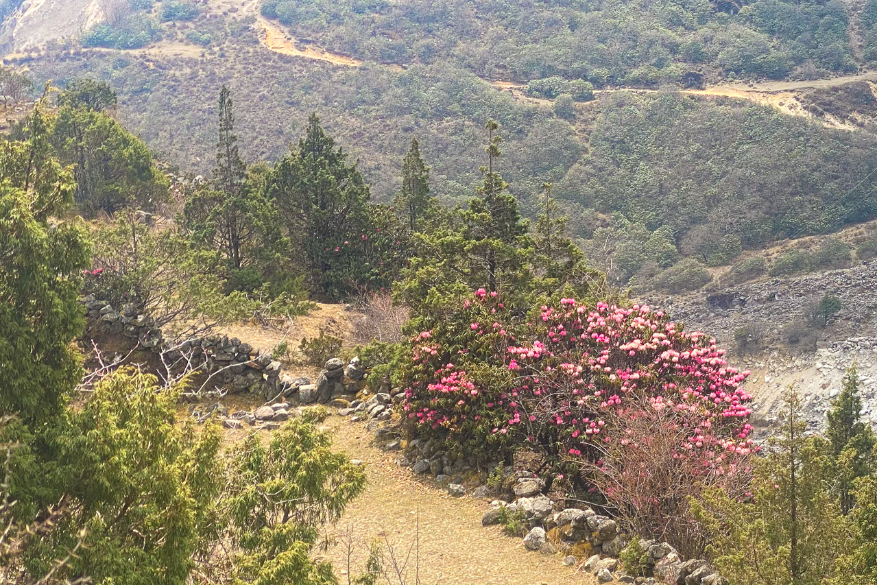 Die ersten Rhododendren blühen nun in den höheren Lagen.