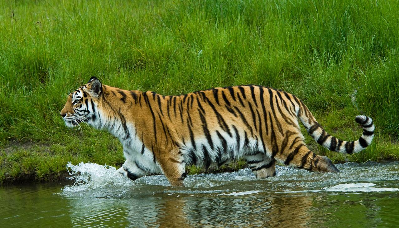 Am Fuss des Himalaya gibt es noch wenige, wildlebende Tibger